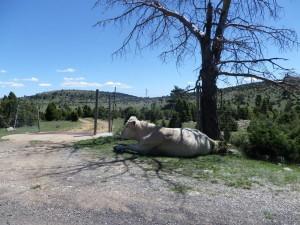"""In den Bergen, hier im """"parc natural de Benifassà""""  gibt es auch Kühe - diese hielt auf der Straße Siesta"""