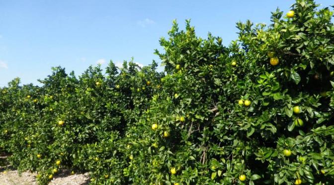 Orangen reifen im Oktober