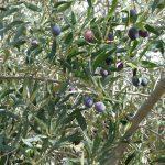 wie ich die Oliven aus Spanien vermisse!