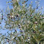 Im Oktober hängen die Olivenbäume voller (fast) reifer Früchte