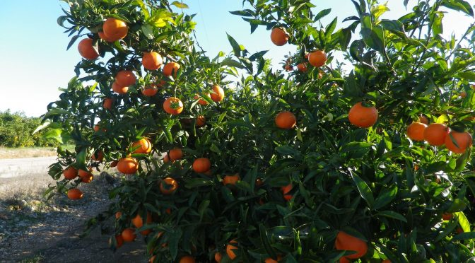 Mandarine, Clementine oder Satsuma?